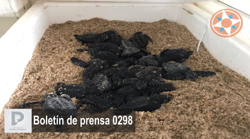 Arriban tortugas marinas a desovar en costas de Puerto Peñasco